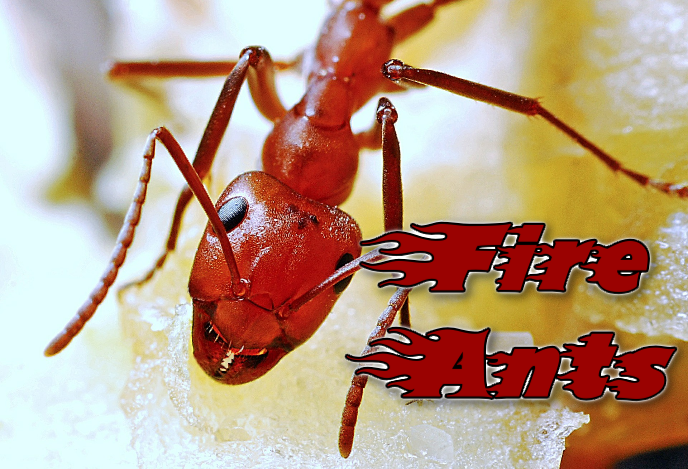 Hurricane causes dangerous fire ants to form floating